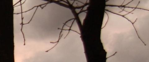 Prince Gallitzin tree close up